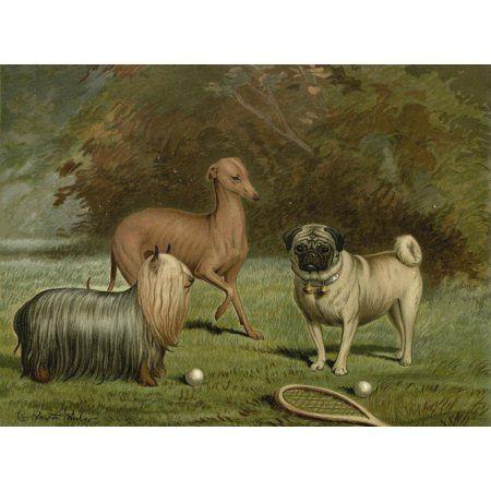 Illustrated Book Of The Dog 1881 Yorkie Italian Greyhound Pug