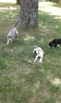 Litter Of 4 Great Dane Puppies For Sale In Mcloud Ok Adn 35440