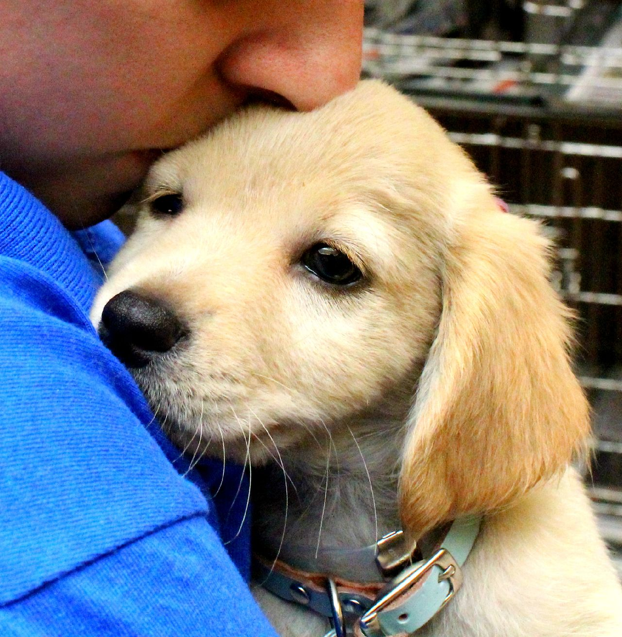 This Golden Retriever Labrador Mix Puppy Is Going Home To A New