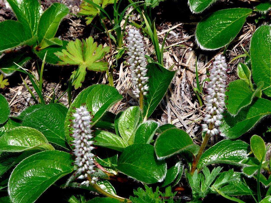 Ива арктическая - Salix arctica - Изображение растения ...