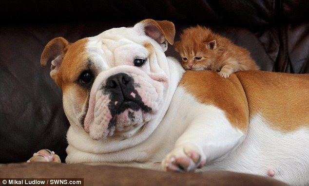 Harley The Bulldog Becomes Best Friends With Tigger The Kitten Who