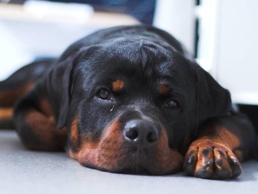 Awesome Live Wallpaper P Incredible Rottweiler Dog Live Wallpaper Free And Customizable P Awesome Wal Rottweiler Puppies Rottweiler Dog Rottweiler Funny