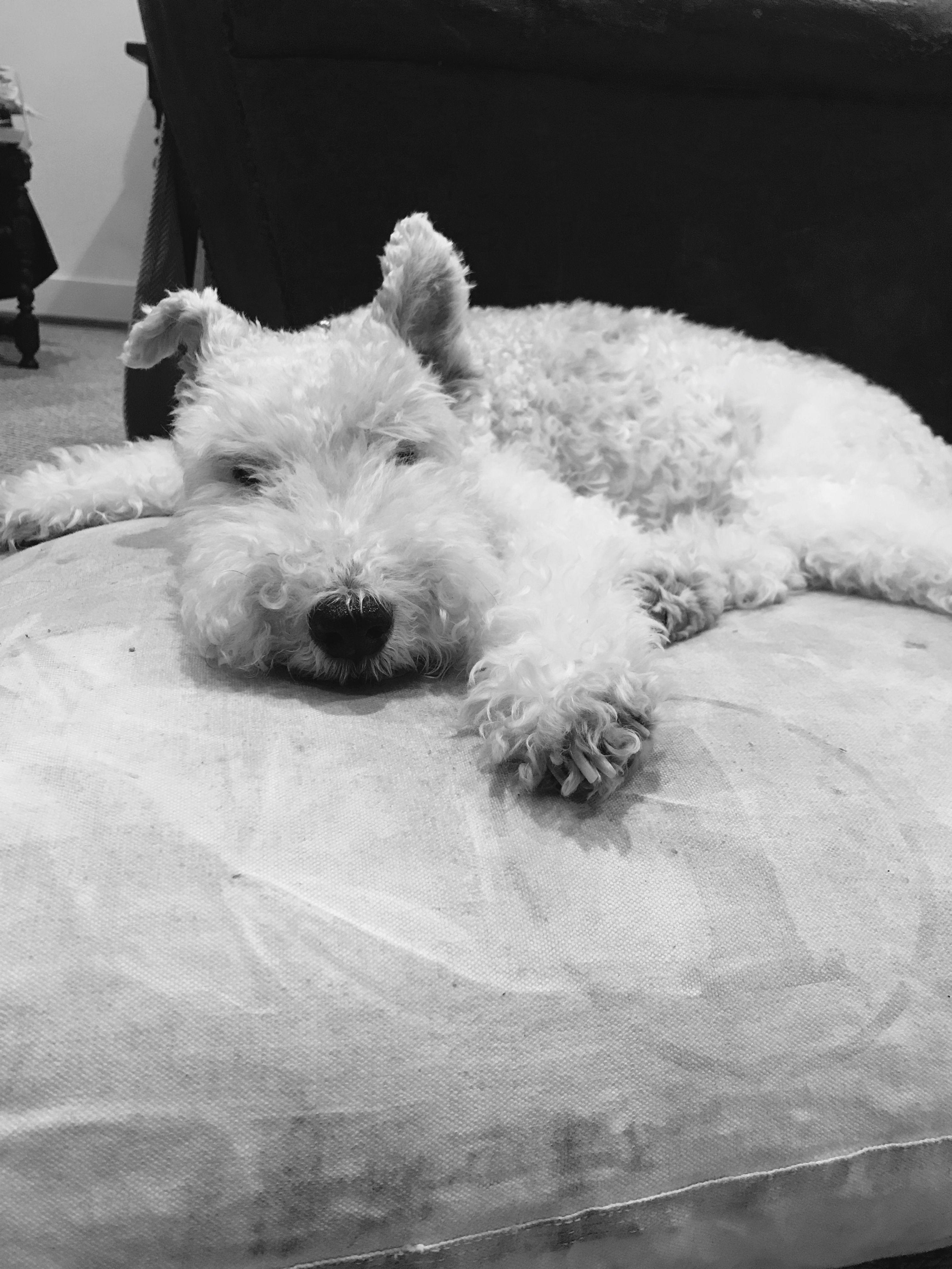 Bogie! Wire Fox Terrier | dogs | Pinterest | Wire fox terriers, Fox ...