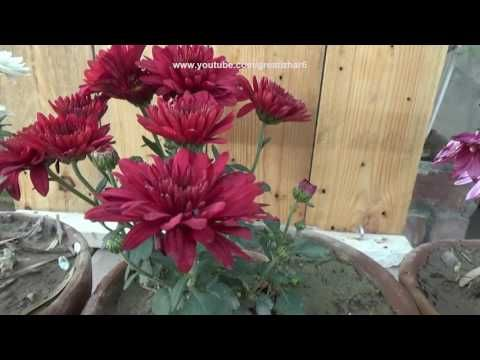 Chrysanthemum Plant Care Gul E Daudi Plant House Flower Plants Urdu Chrysanthemum Plant Planting Flowers Plants