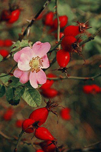 rosa canina nypon