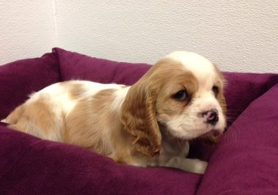 Puppies For Sale In Walled Lake Michigan 23552 Cockalier Cavalier King Charles Spaniel Tricolor King Charles Cavalier Spaniel Puppy