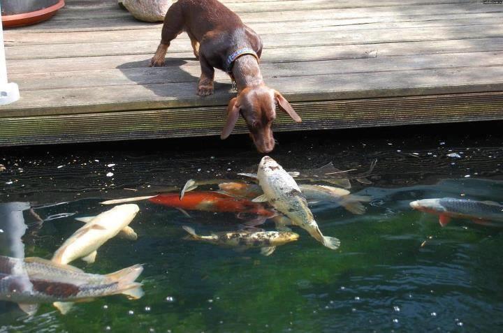 Dachshund and koi fish