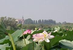 Mantova, fior di loto nel lago di Mantova