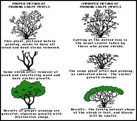 How To Correctly Prune Crepe Myrtles Myrtle Tree Landscaping Trees Crepe Myrtle Trees