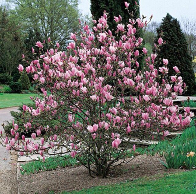 Magnolia Fiorita Fiori Natura