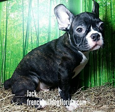French Bulldog Puppy For Sale In Fort Lauderdale Fl Adn 30415 On