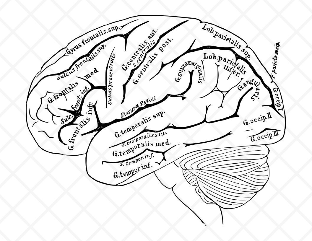 Human Brain Illustration Vintage Drawing Antique Drawing