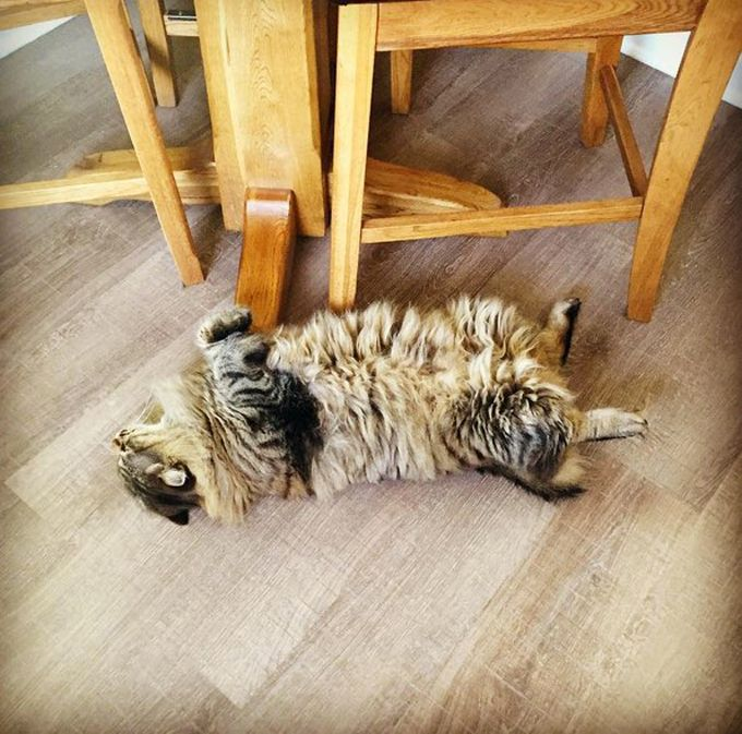 American Bobtail Cat Breed Information, Pictures ...