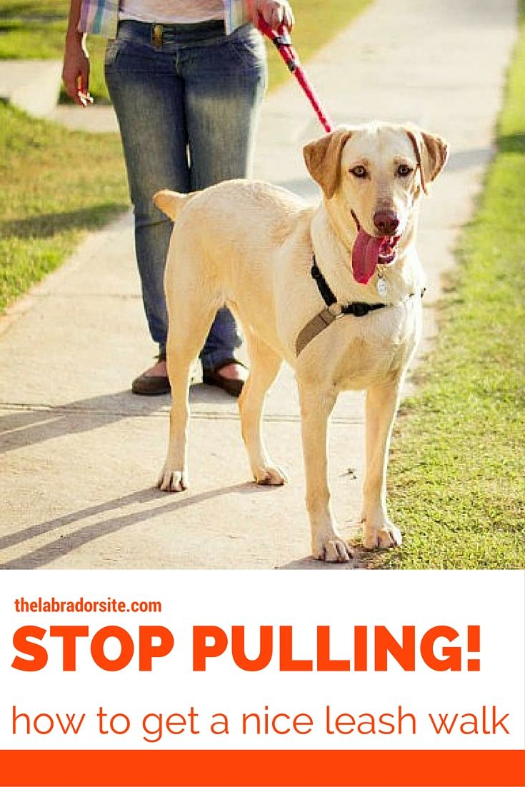 How To Stop Your Labrador Pulling On The Lead Dog Leash Training