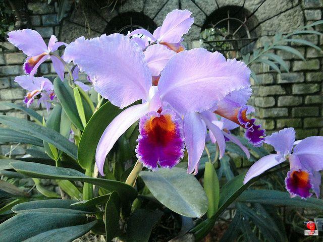 Orchids Cattleya Adela Orchidaceae Origin Costa Rica To Tropical South America Sc20120121 084 Orquidea Orquidarios Flores Lindas