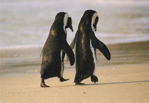 African Penguins - taking a stroll