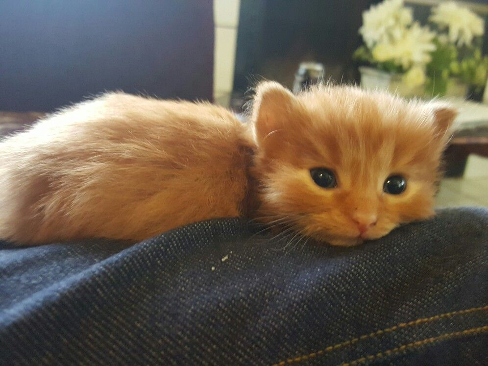 Hamster looking kitten