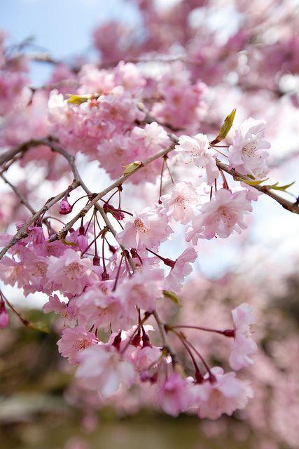 Hbw With Sakura Cherry Tree Varieties Pink Blossom Blossom Trees