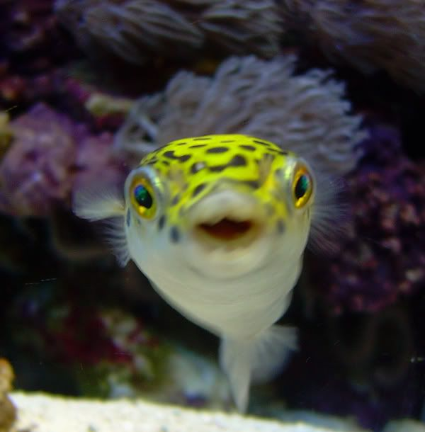 The spotted green puffer tetraodon nigroviridis was for Puffer fish aquarium