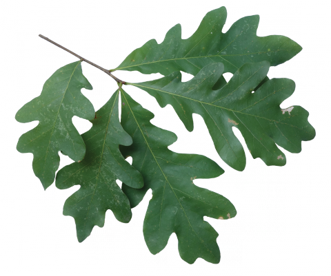 Quercus Alba White Oak Branch Png 480 401 White Oak Leaf Plant Leaves Oak Leaves