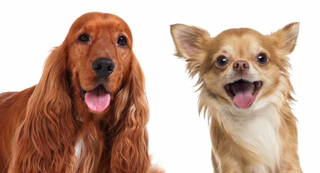 Cocker Spaniel Chihuahua Mix Is The Chi Spaniel The Right Dog For You In 2020 Chihuahua Mix Chihuahua Mix Puppies Cocker Spaniel Dog