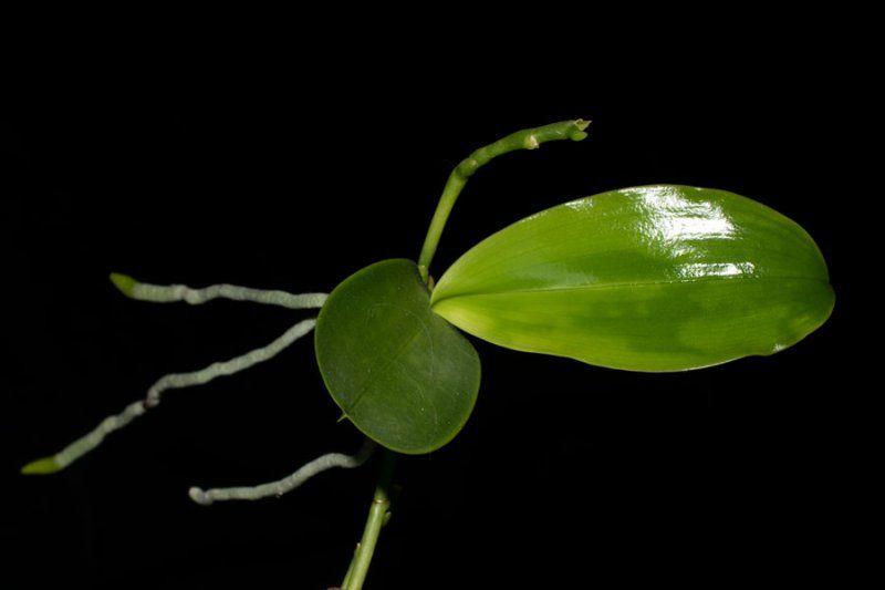 orchideen orchideen pinterest pflanzen g rten und zimmerpflanzen. Black Bedroom Furniture Sets. Home Design Ideas