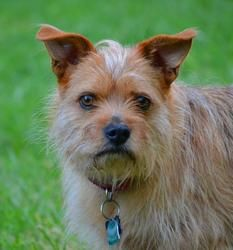 Adopt Teddy On Petfinder Dog Adoption Terrier Dogs Terrier Mix Dogs