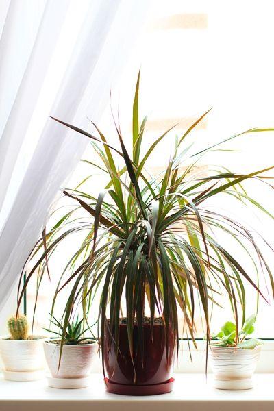 zimmerpflanzen f r dunkle r ume drachenbaum dracena zimmerpflanzen pinterest pflanzen. Black Bedroom Furniture Sets. Home Design Ideas