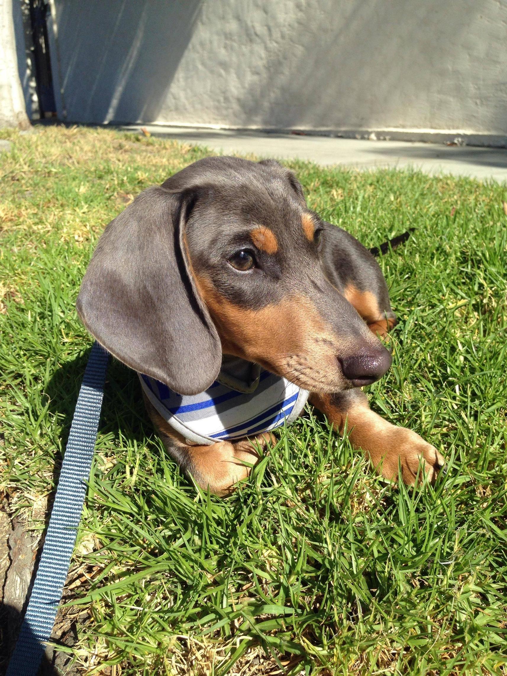 Oswego Il Australian Shepherd Beagle Mix Meet Petey A Puppy