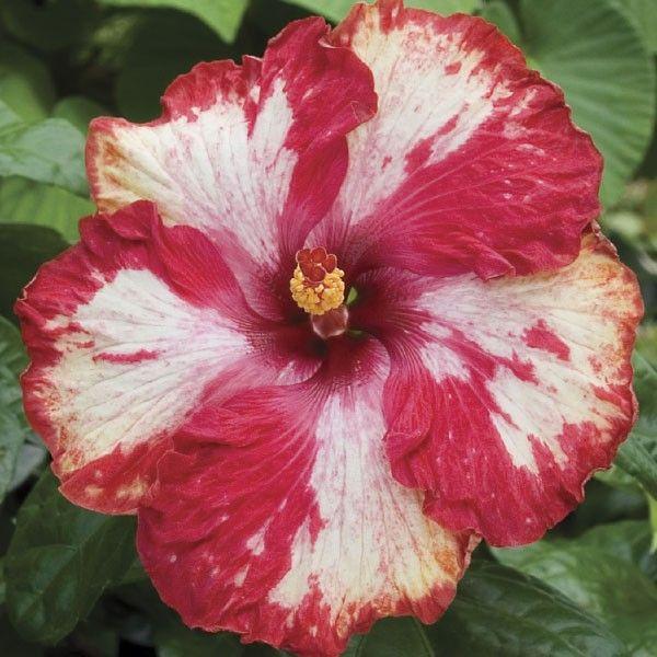 Hibiscus Rim Of Fire Hibiscus Rosa Sinensis Hybrid Hibiscus Plant Hibiscus Rosa Sinensis Hibiscus Flowers