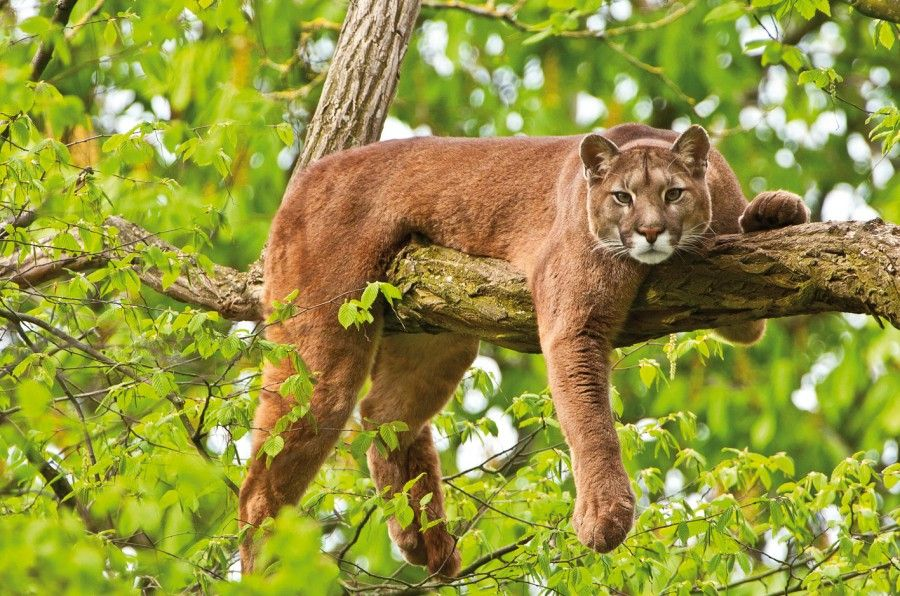 The Euphoric Regions Of Costa Rica With Their Specialties Mountain Lion Big Cats Animals
