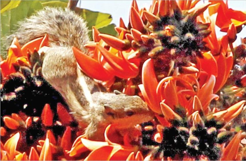 a squirrel is extracting honey from the seasonal flower of spring - Palash or Flame of the Forest or Bastard Teak on a tree near the Rajshahi College area Bangladesh.