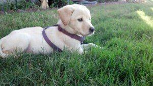 Adopt Miracle On Labrador Retriever Terrier Mix Dogs Labrador