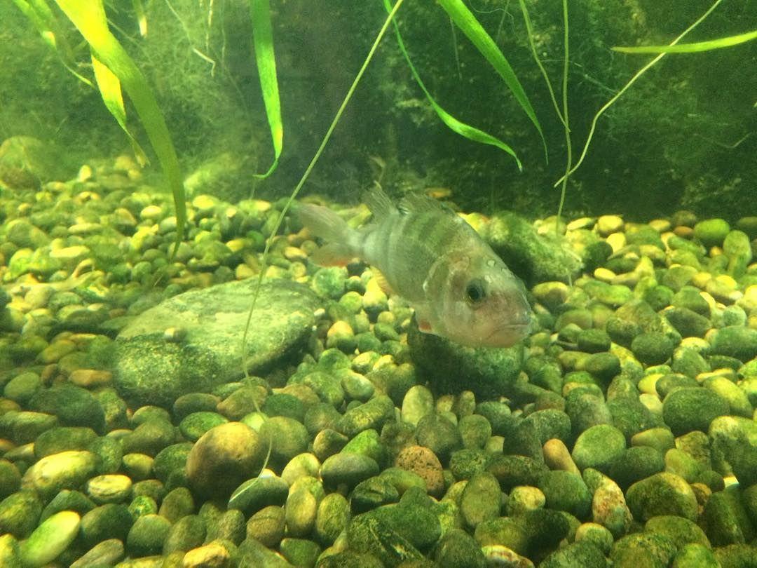Buy fish for aquarium london - Perch Aquarium Londonaquarium Tank Fish Perch London