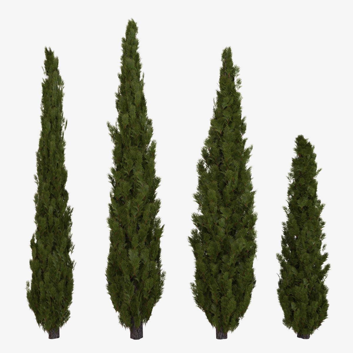 3d Model Of 4 Different Italian Cypress Trees Talian Cypress Plant Tree Shrub Columnar Greenery Planting G Italian Cypress Trees Italian Cypress Cypress Trees