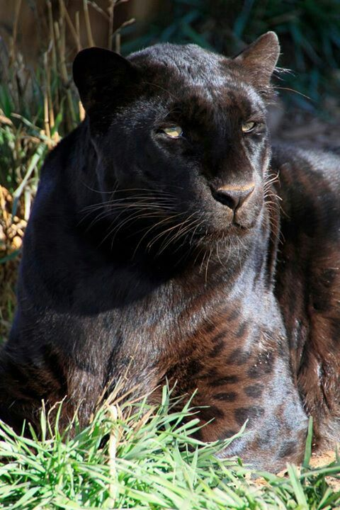Jaguar Fort Myers >> Black panther | Black | Small wild cats, Animals beautiful, Animals