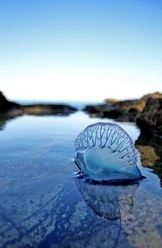 Portuguese Man o' War, beautiful but painful.Pin provided by Elbow Beach Cycles http://www.elbowbeachcycles.com