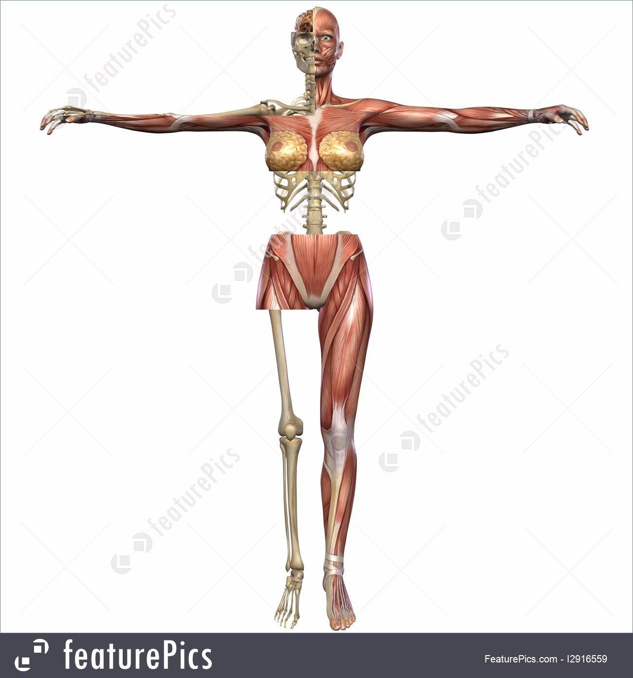 Free Female Anatomy Photos Human Anatomy Pictures Human Anatomy