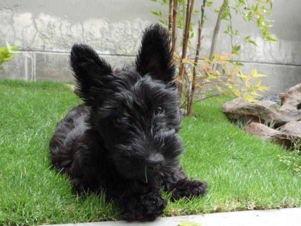 Pin On Scottish Terrier
