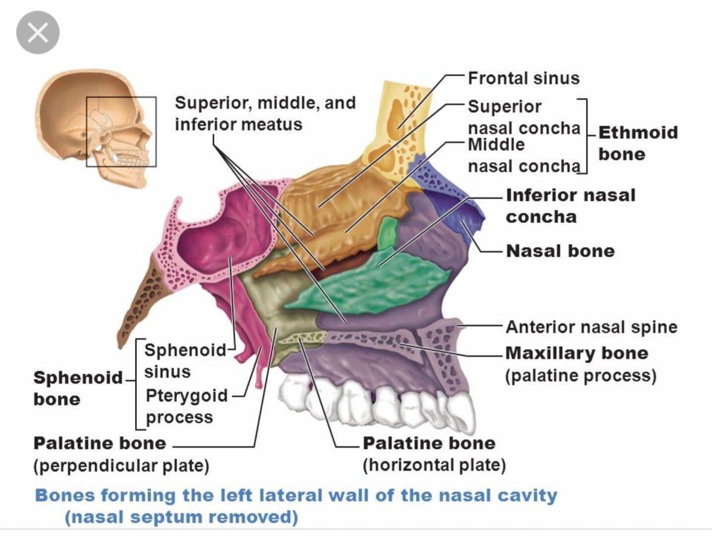 Nasal cavity | Head & Neck Anatomy | Pinterest | Nasal cavity and ...