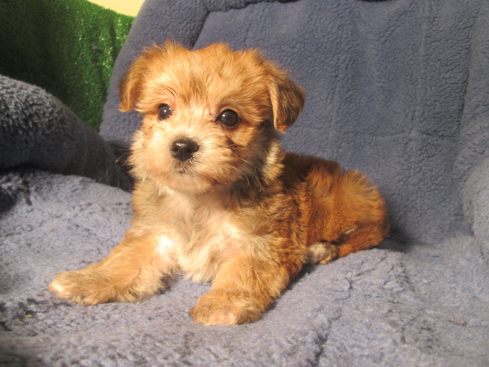 Cuddly Yochon Puppies Available Yorkie X Bichon 8 12 Weeks Of Age Permanent Shots And Wormings Completed Along Puppies Mixed Breed Puppies Dog Rules