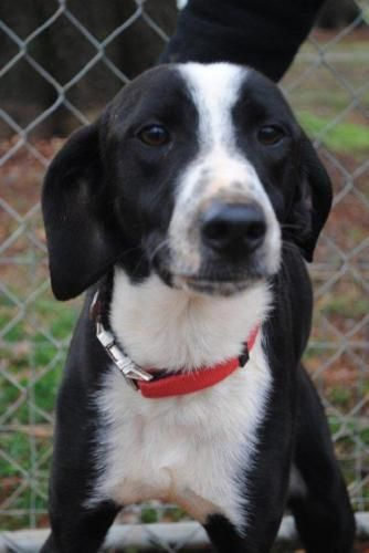 Meet Snoopy, an adoptable Feist looking for a forever home