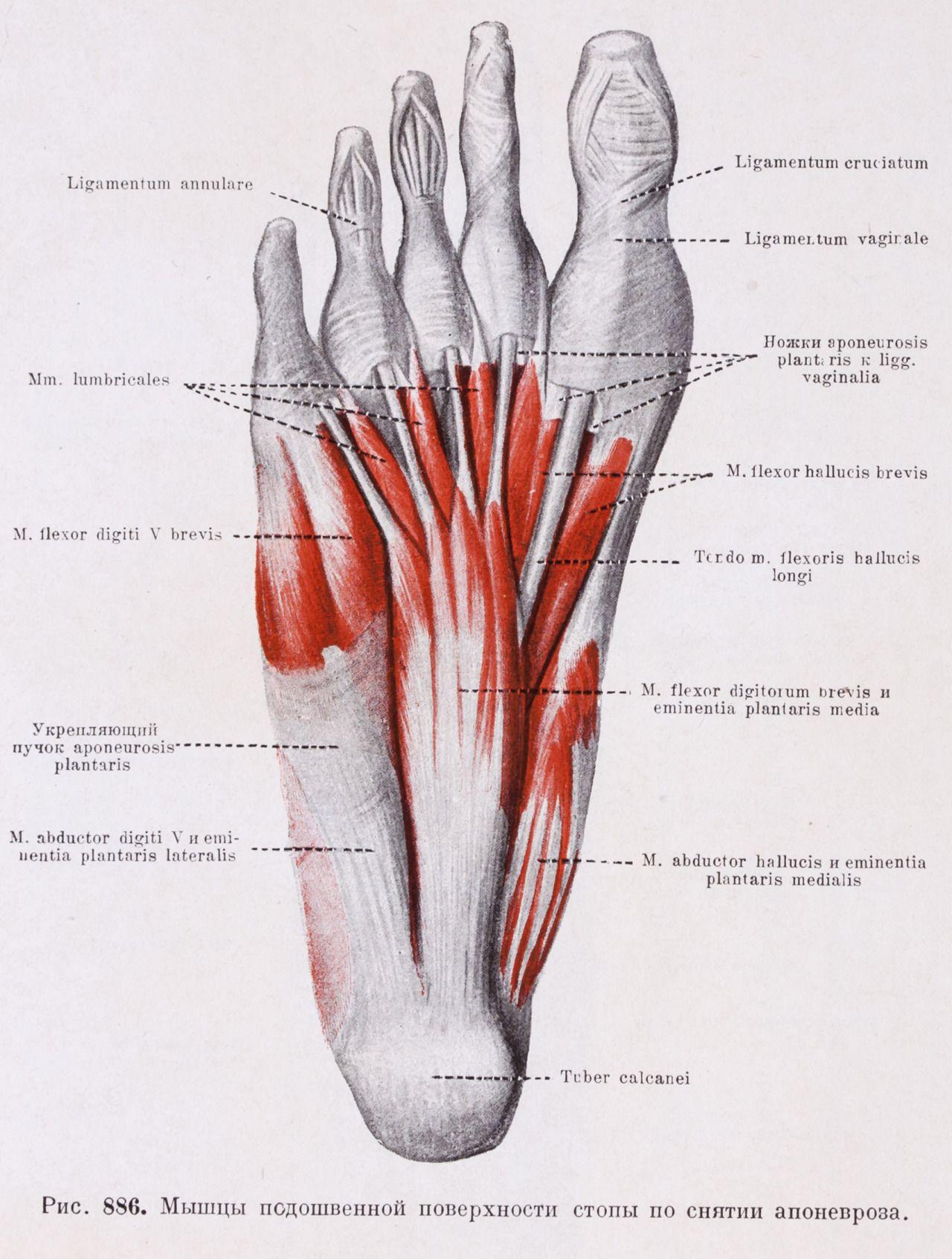 Рис. 886 Мышцы подошвенной поверхности стопы по снятии апоневроза ...