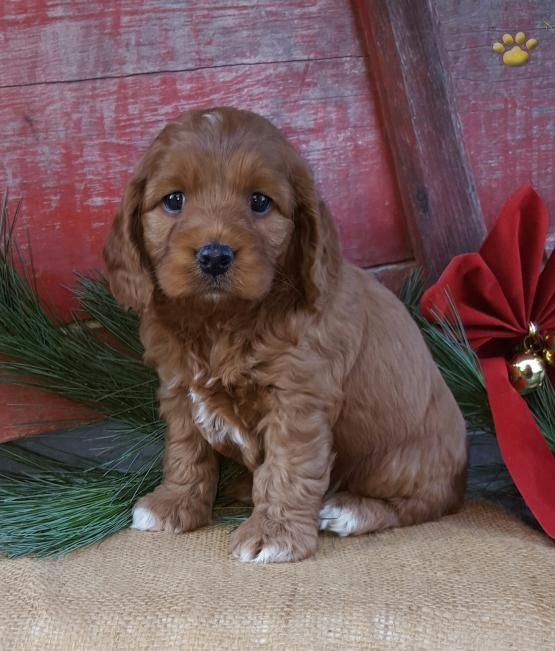 Rudy Cockapoo Puppy For Sale In Lebanon Pa Cockapoo Puppies Cockapoo Puppies For Sale Puppies