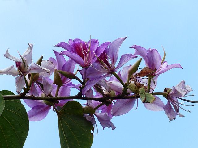 Blomster, Lyserød, Træ, Bauhinie, Bauhinia, Orkidé Træ