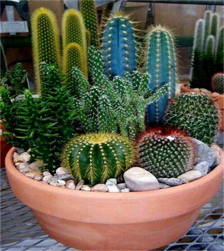 I Like The Arrangement Of This Pot Of Succulents And Cacti Needs A Small Spiller Plant Tho Mini Cactus Garden Cactus Arrangement Cactus Plants