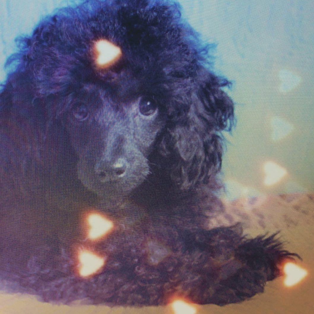 Me Myself and I #timelapse #timeflies #toypoodlestagram #toypoodle #poodletoy #poodlesofinstagram #poodlelove...