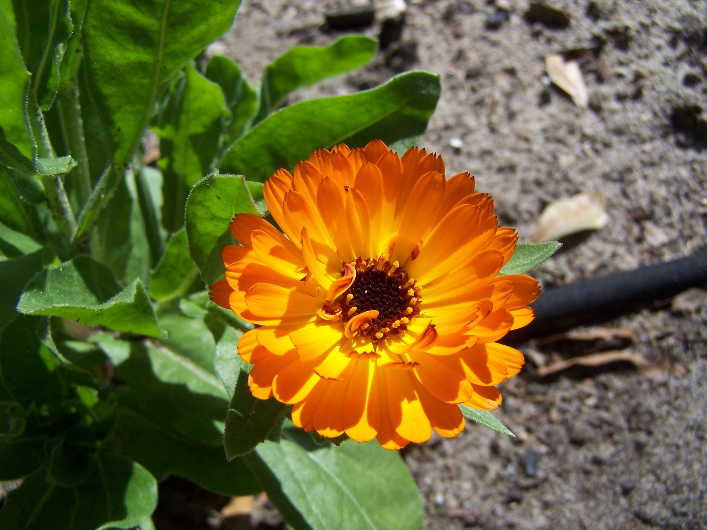 Indian Prince Calendula from