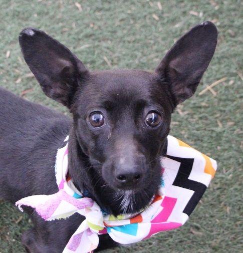 Chiweenie Dog For Adoption In Las Vegas Nv Adn 494234 On