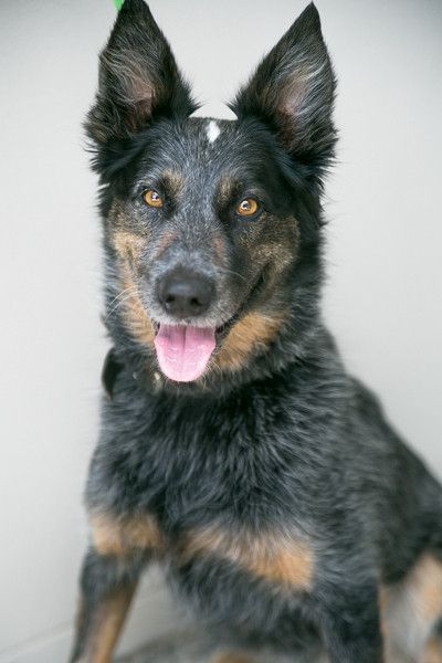 Bam Australian Cattledog Mix Rescue dogs, Looking for